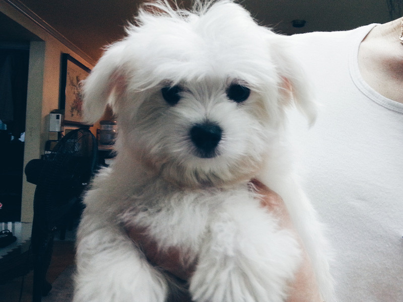 Bomi the Cute Maltese